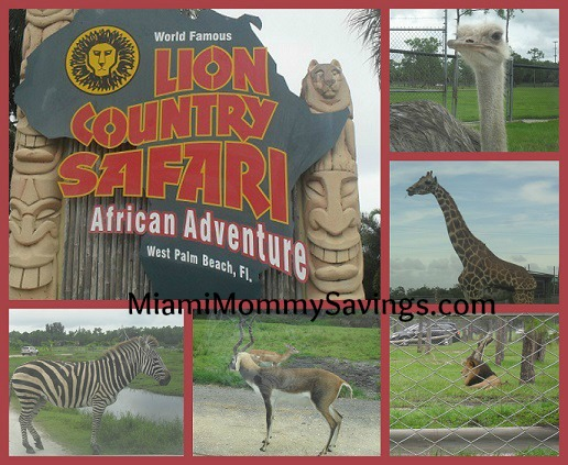 World Famous Lion Country Safari: African Adventure in the South Florida!